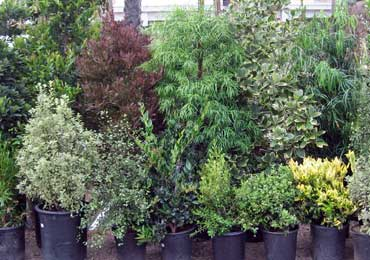 hedge and screening plants, tall and short